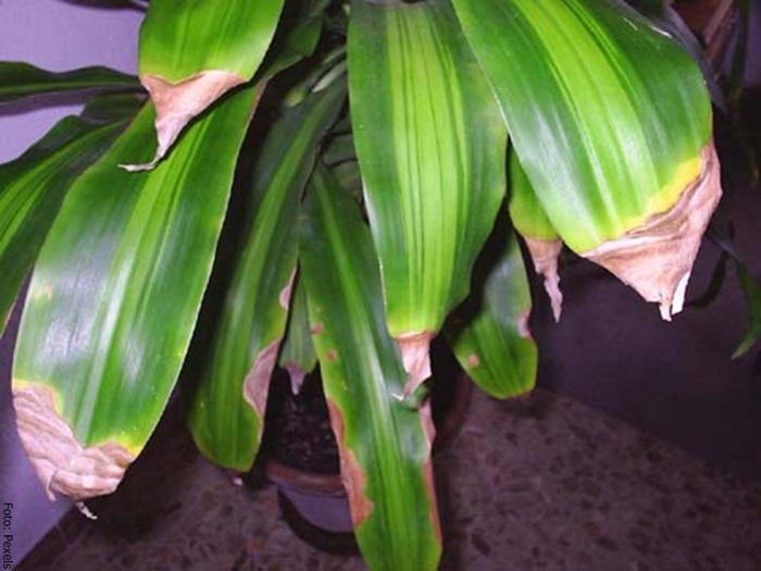 Foto de unas hojas secas del palo de brasil para ilustrar cuidados