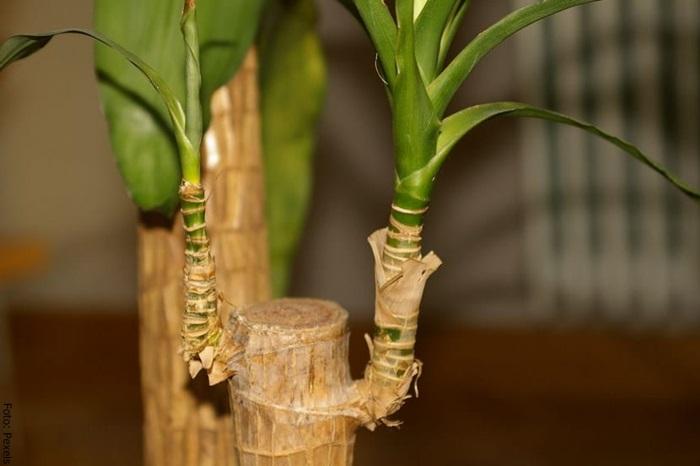 Foto del tronco del palo de brasil