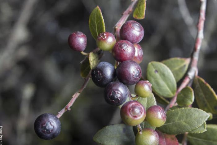 Foto de una rama con frutos de agraz