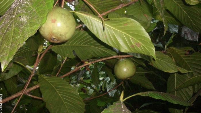 Foto de la fruta aún en el árbol de color verde