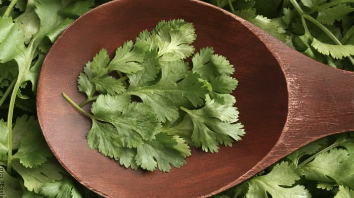 Foto de una planta de cilantro para ilustrar para qué sirve el cilantro