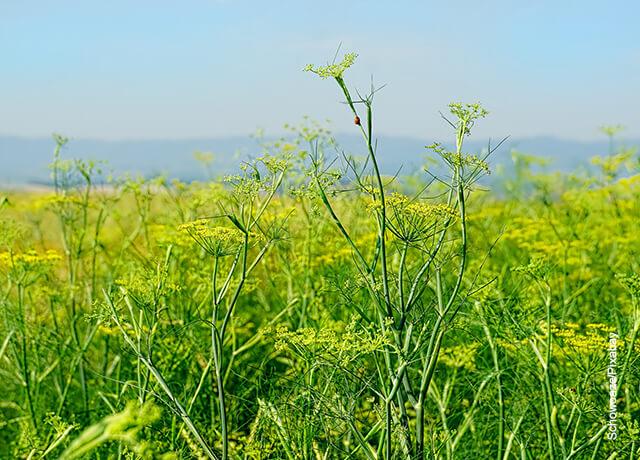 Foto de una plantación herbal