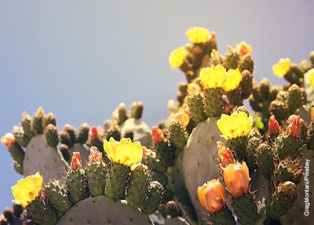 Foto de un sembrado de cactus que revela para qué sirve el nopal