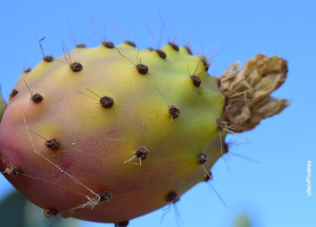 Foto del fruto de un nopal