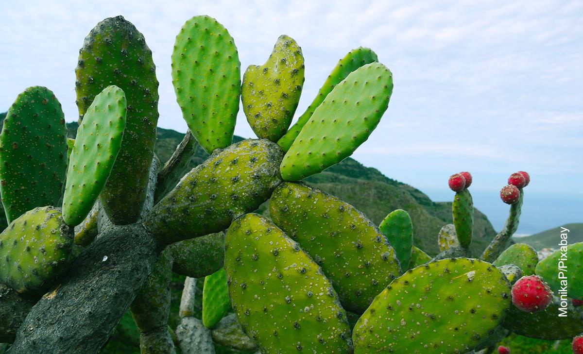 Foto de un cactus que muestra para qué sirve el nopal