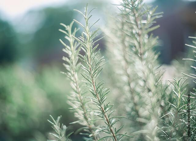 Foto de una plantación de hierbas aromáticas