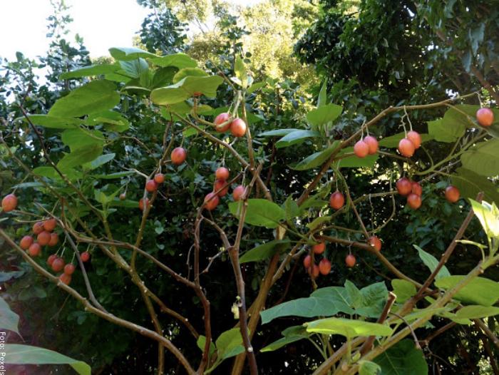 Foto de un árbol de tamarillo con frutos