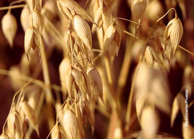 Foto de un sembrado de cereal