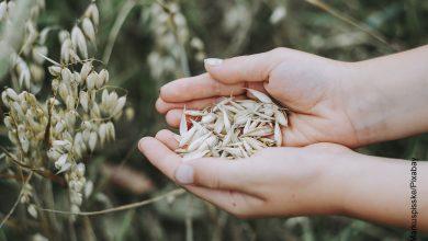 Foto de unas manos con cereales que ilustran para qué sirve la avena