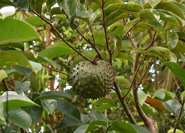 Foto de un árbol frutal que muestra para qué sirve la guanábana