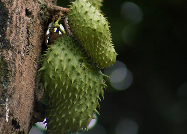 Foto de una fruta colgada en un árbol que ilustra para qué sirve la guanábana