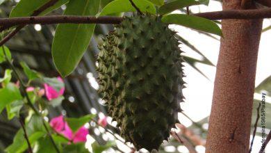 Foto de una guanábana colgando de una rama