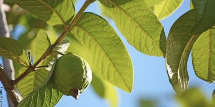 Foto de unas hojas de guayaba en un árbol