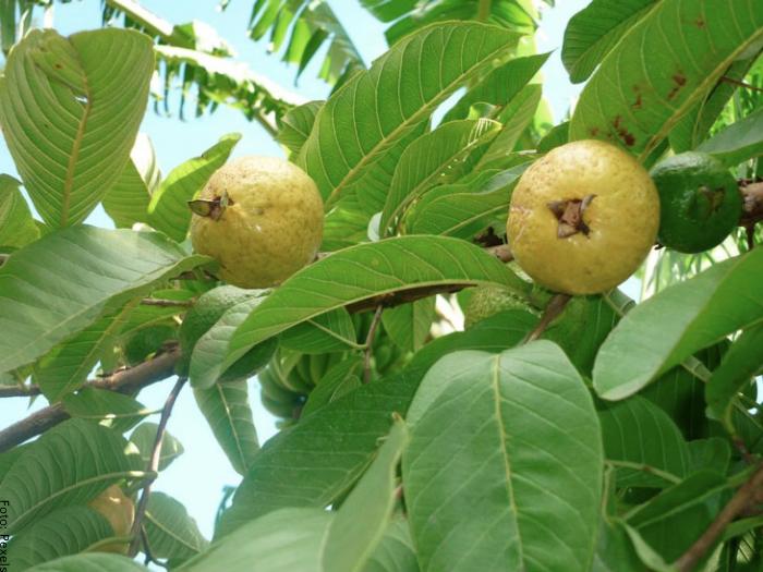 Foto de un árbol de guayaba