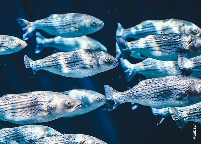 Foto de varios peces en el agua que ilustra para qué sirven las escamas de pescado