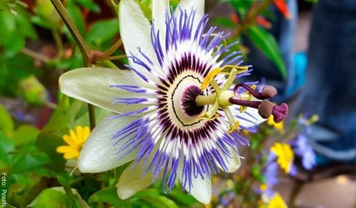 Foto de una flor de pasiflora y para qué sirve