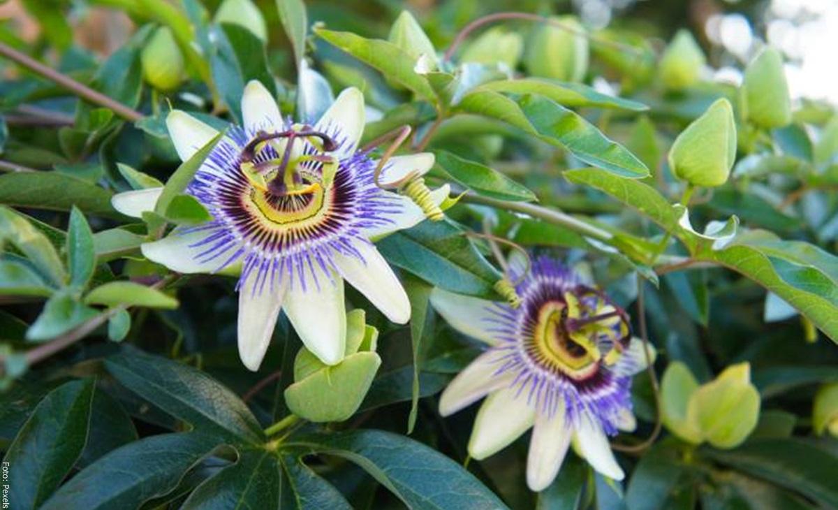 ¡Pasiflora! Para qué sirve la flor de la pasión
