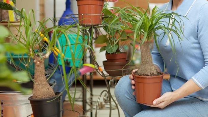 Foto de una mujer sosteniendo una planta pata de elefante para ilustrar cuidados