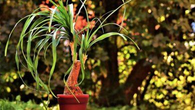Pata de elefante, cuidados de esta curiosa planta
