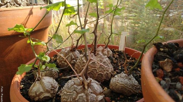 Foto de una planta pata de elefante pequeña