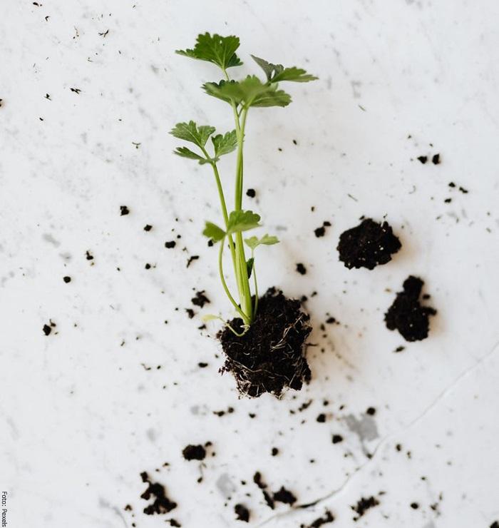 Foto de una planta de perejil