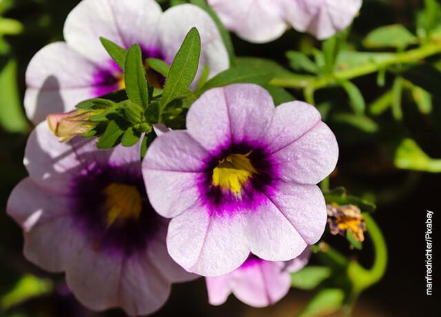 Foto de una petunia morada