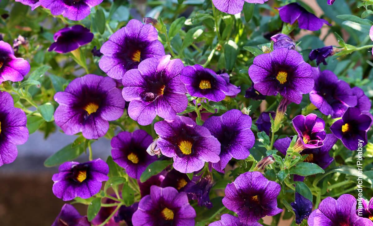 Foto de unas flores violetas que ilustran las petunias y los cuidados que le debes tener
