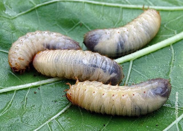 Foto de larvas blancas que indican qué significa soñar con gusanos