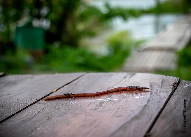 Foto de una lombriz de tierra