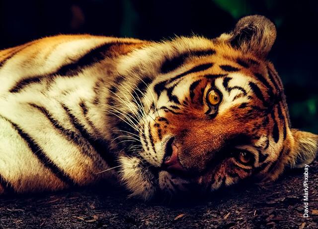 Foto de un felino acostado que muestra qué significa soñar con tigres