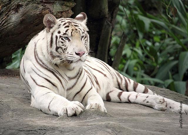 Foto de un tigre de bengala que ilustra qué significa soñar con tigresf