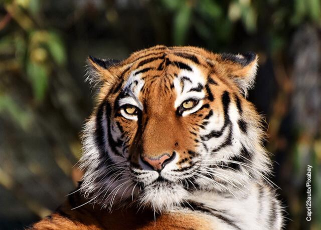 Foto de un tigre mirando a la cámara