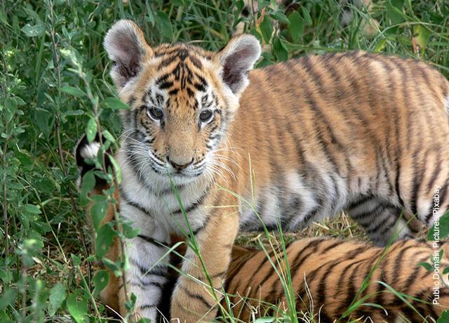 Foto de un cachorro tigre