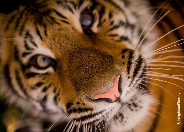 Foto del rostro de un tigre