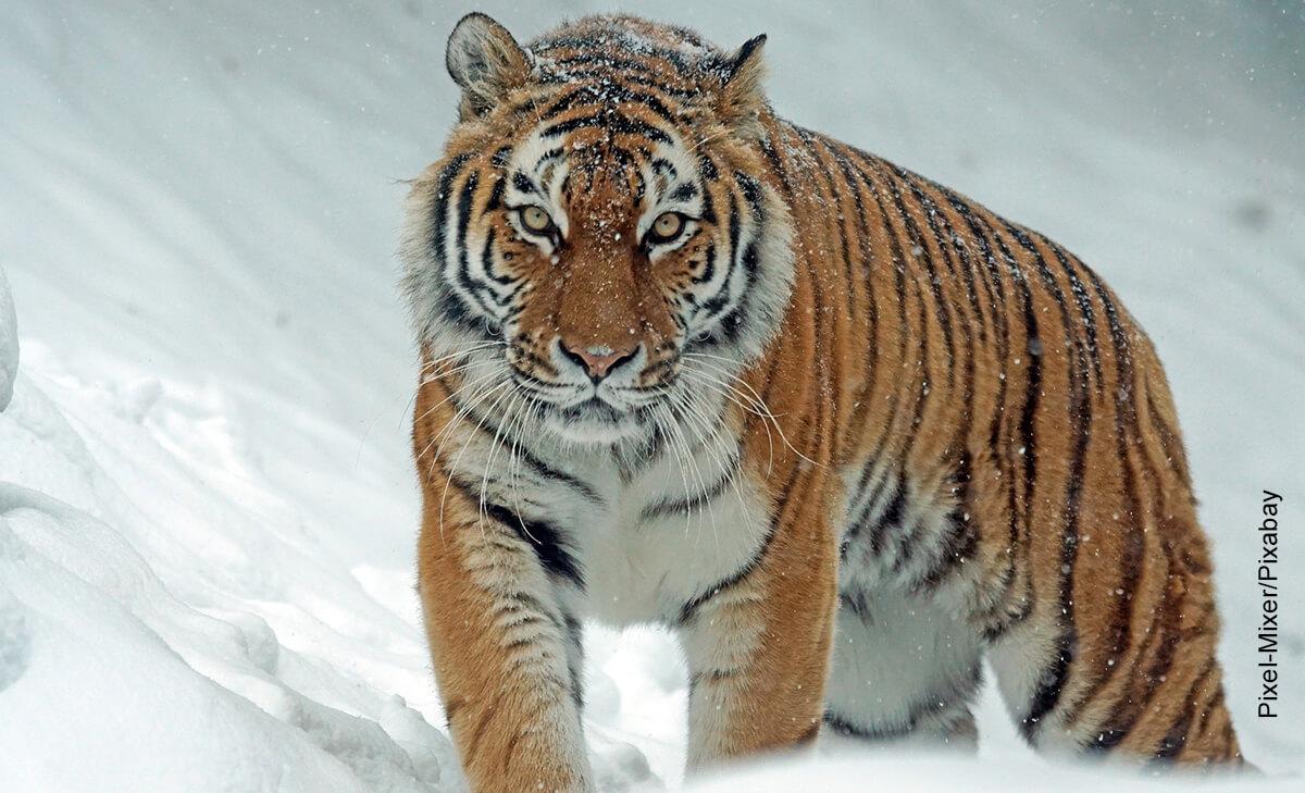 Foto de un felino en la nieve que ilustra qué significa soñar con tigres