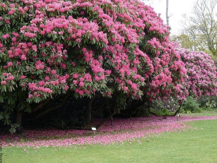 Foto de un arbusto de rododendro cuidados