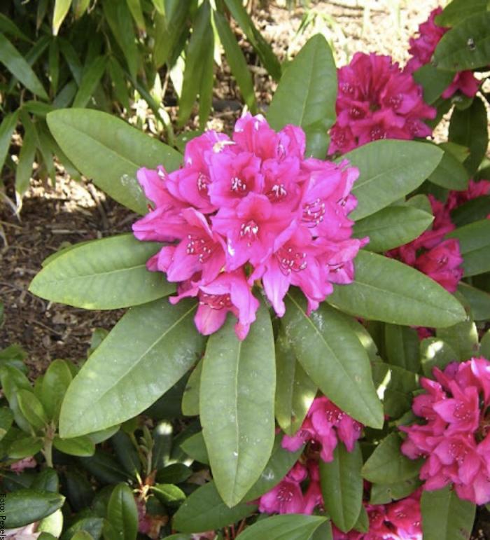 Foto de las flores del rododendro