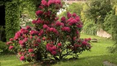Rododendro: cuidados para mantener este arbusto perfecto