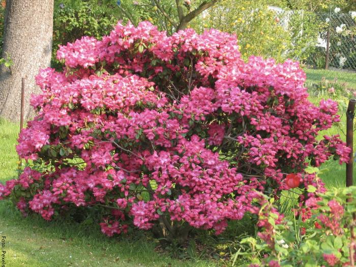 Foto de un arbusto de esta especie con flores rosadas