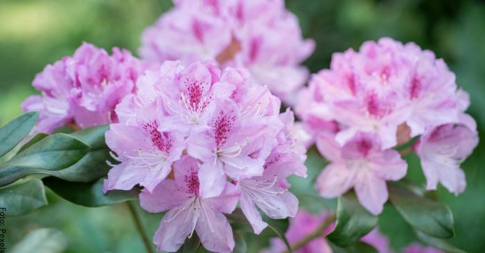 Foto de flores del rododendro