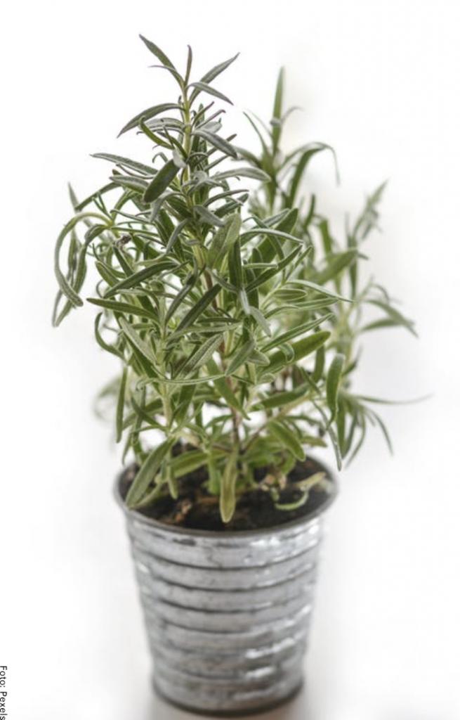 Foto de una planta de salvia rosmarinus