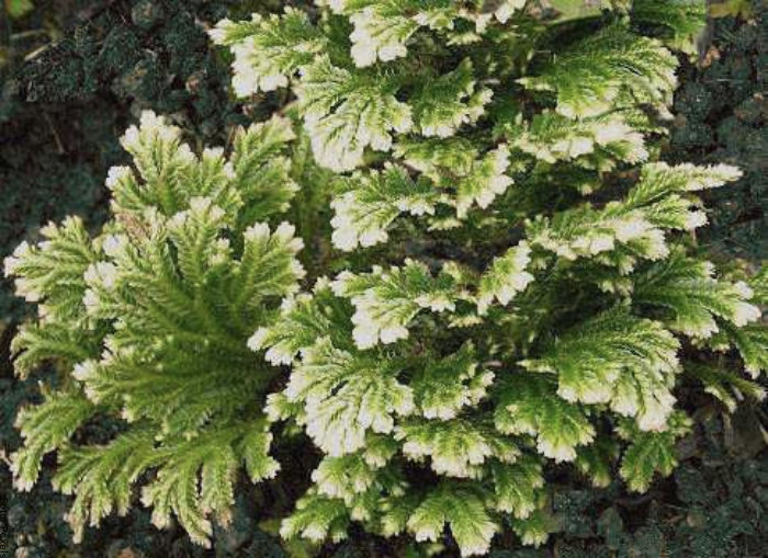 Foto de la planta rosa de jericó cuidados