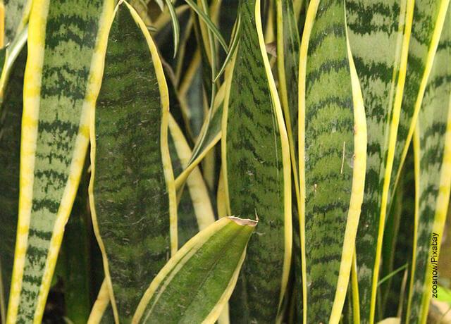Foto de las hojas de una planta lengua de tigre que ilustra la sansevieria y sus cuidados