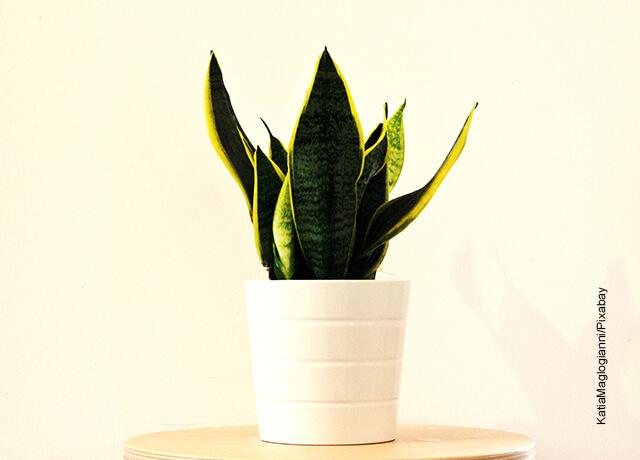 Foto de una maceta con una planta verde que muestra la sansevieria y sus cuidados
