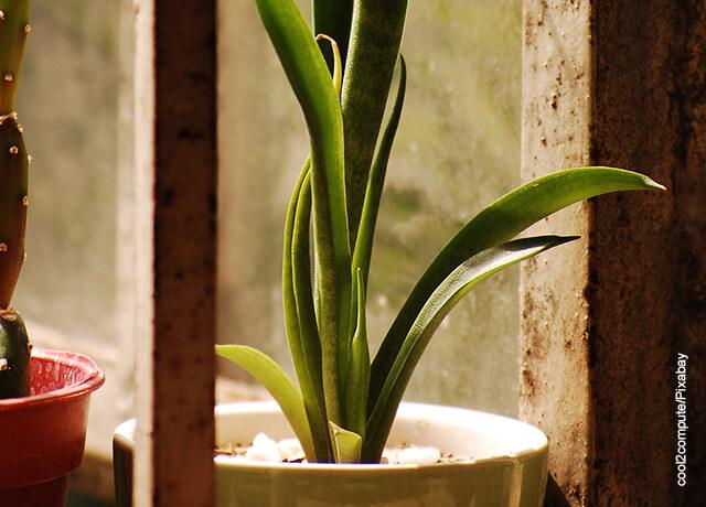 Foto de una planta en maceta de sansevieria
