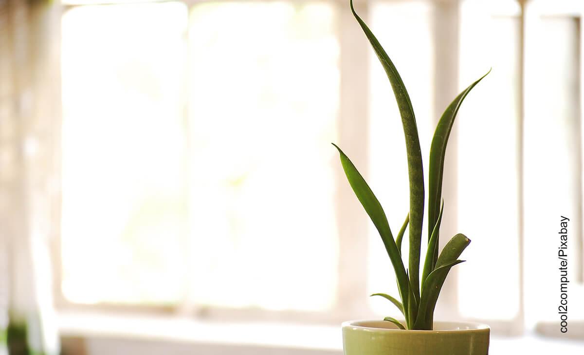 Foto de una planta que muestra la sansevieria y sus cuidados