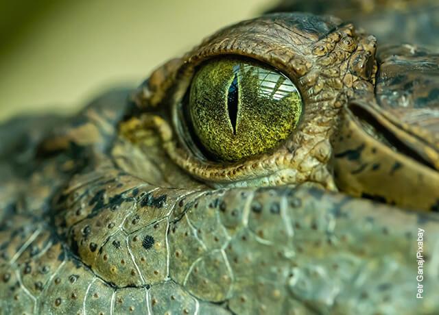Foto del ojo de un animal reptil que ilustra lo que significa soñar con cocodrilos