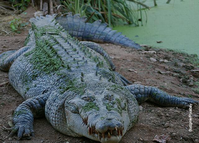 Foto de un cocodrilo fuera del agua