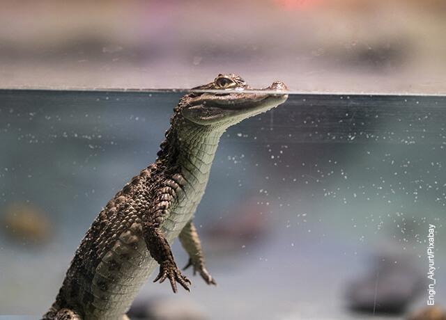 Foto de una lagartija en el agua