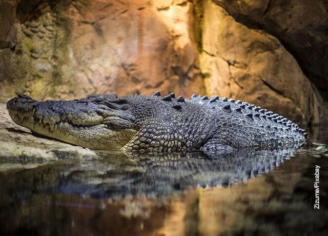 Foto de un cocodrilo saliendo del agua en una cueva